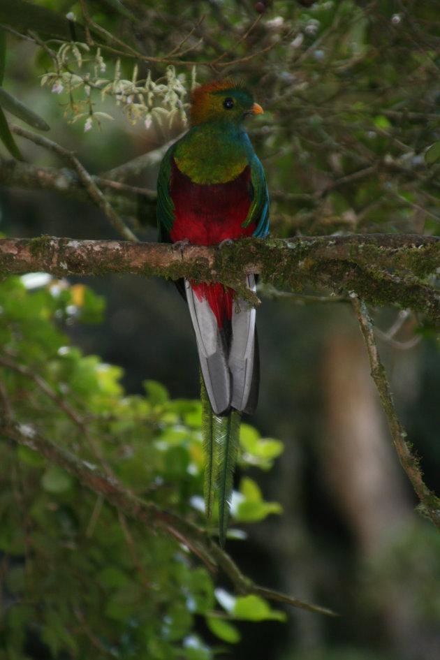 De machtige Quetzal