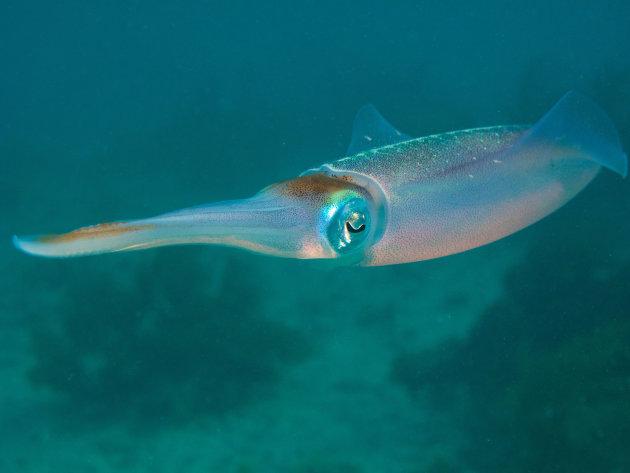 Caribean Reef Squit
