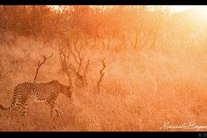Cheetah in de ondergaande zon op de afrikaanse savanne