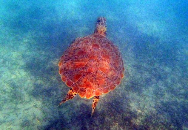 Schrikpad of schildpad