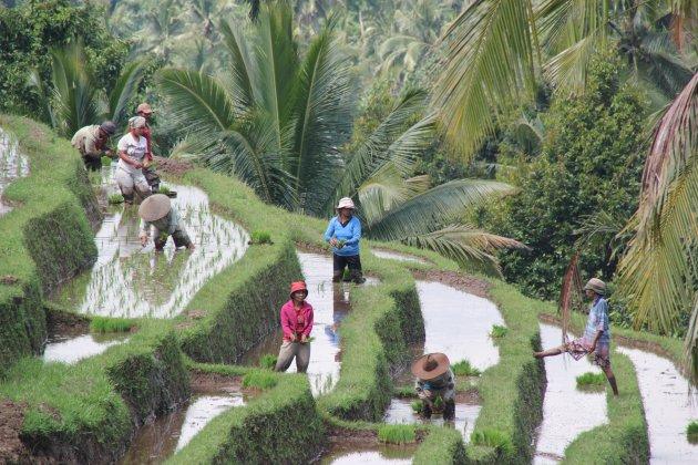 Werk op rijstvelden