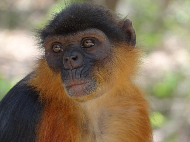 Apen gezicht