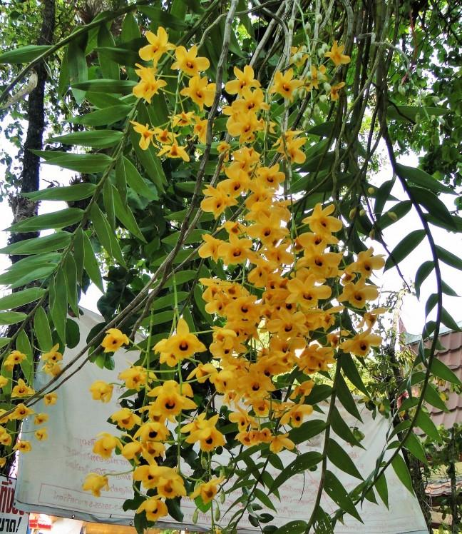 Gele Orchidee