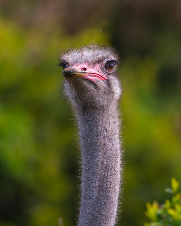Had je wat? close-up struisvogel kop