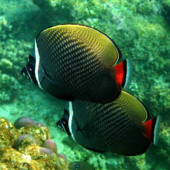 Witkraag koraalvlinders