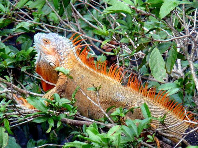 Oranje in Costa Rica