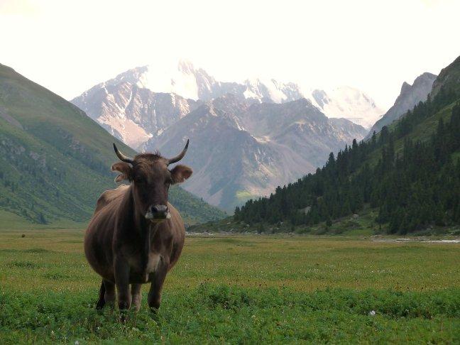 een koe!