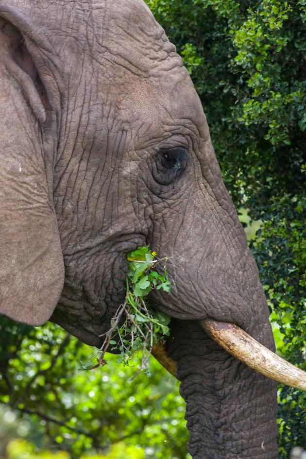Eten, eten  en nog eens eten, close-up olifant Addo N.P.