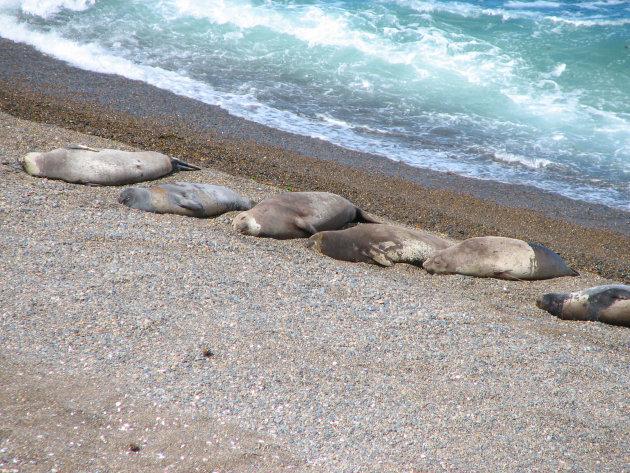 Zeeleeuwen zonnen op een rijtje
