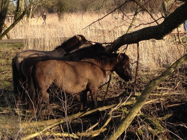 Wilde paarden in de Oostvaardersplassen