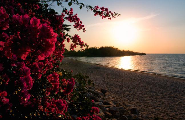 a bougainvillea sunset