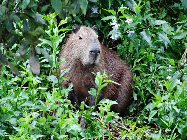 Capibara in Pantanal