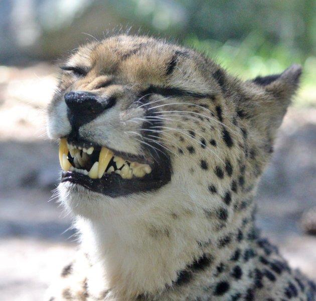 Jonge cheetah