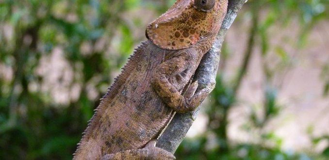 Olifantsoren-kameleon