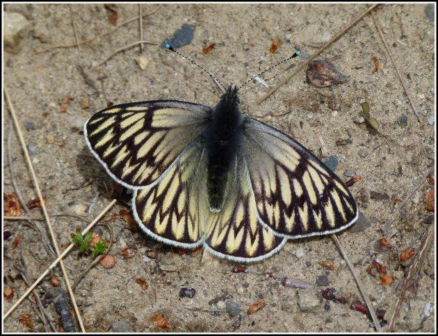 Vlinder onbekend.