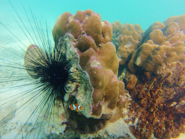 Anemonfish and Black Sea Urchin