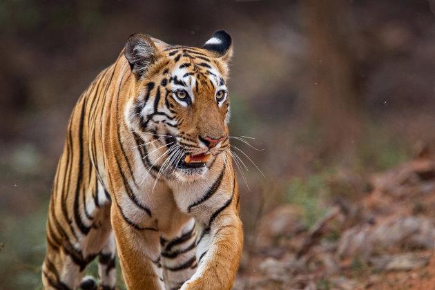 tijger op pad