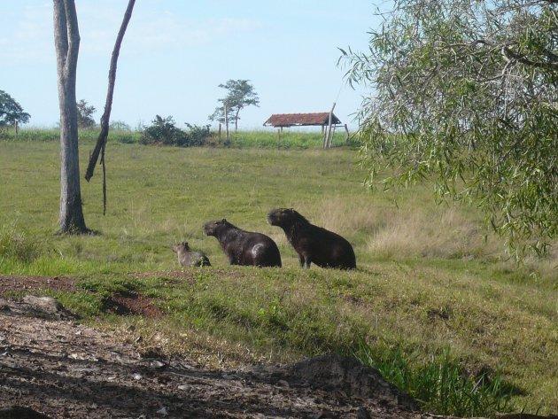 Capiranha's in de pantanal Brazilië