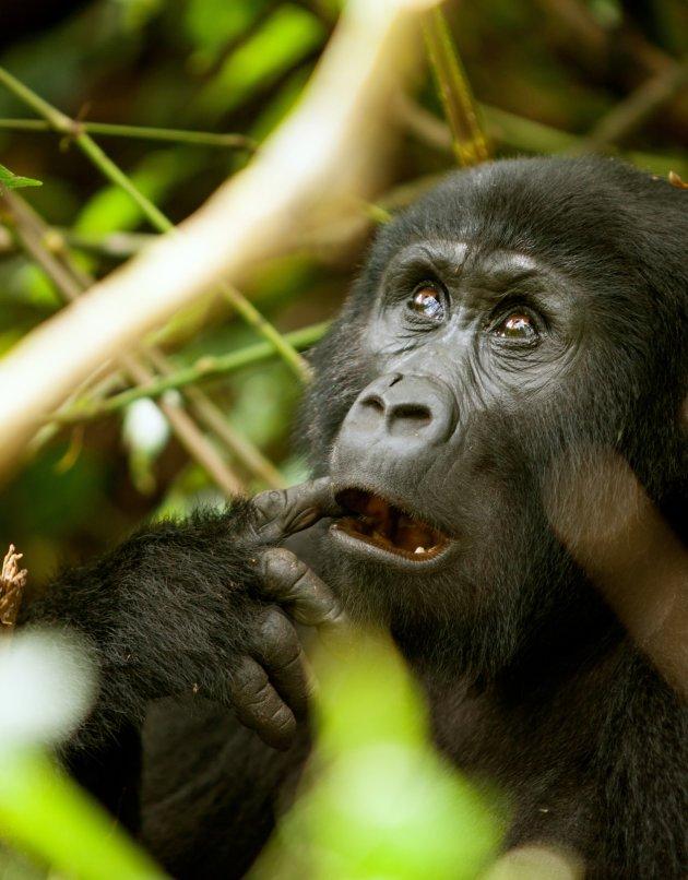 Gorilla 3 Bwindi
