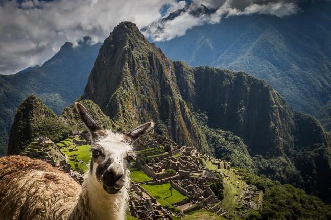 Lama @ Machu Picchu