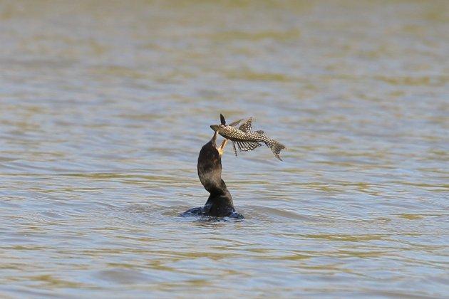 Pantanal Catfish gevangen