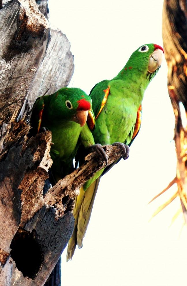 Rood voorhoofd Amazone papegaai (Finsch aratinga)