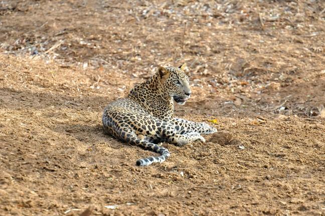 Luipaard in Yala NP