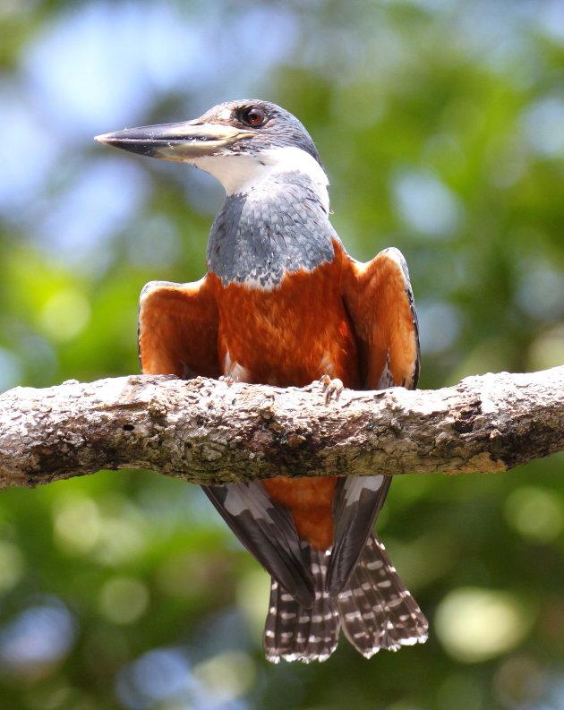 Amerikaanse Reuzenijsvogel