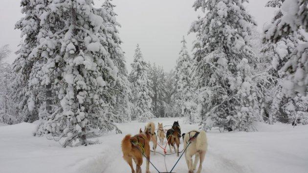 Husky tour in Luosto, Lapland