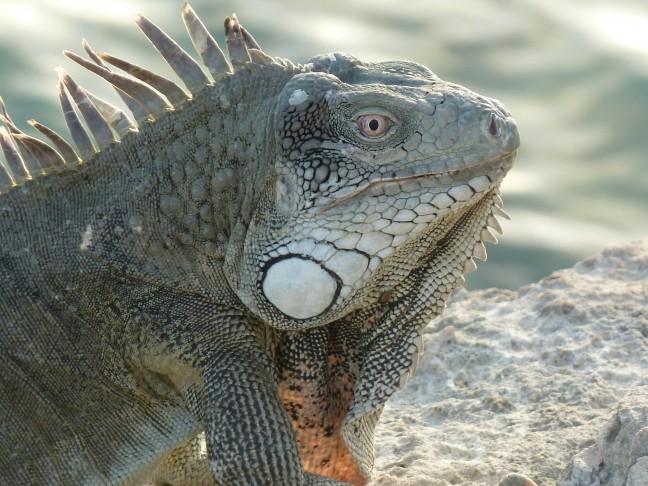 Leguaan op een rost voor de kust van Bonaire