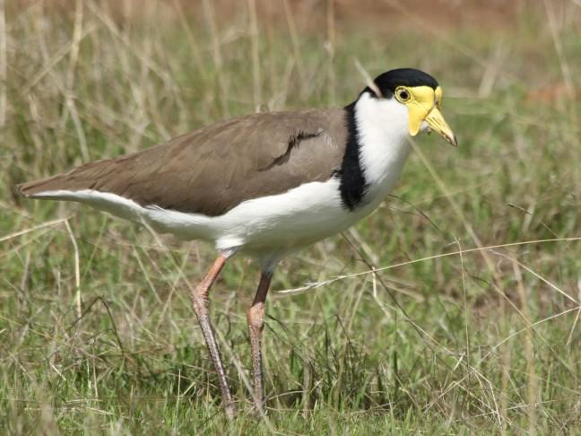 Vla-flip vogel op Kangaroo Island