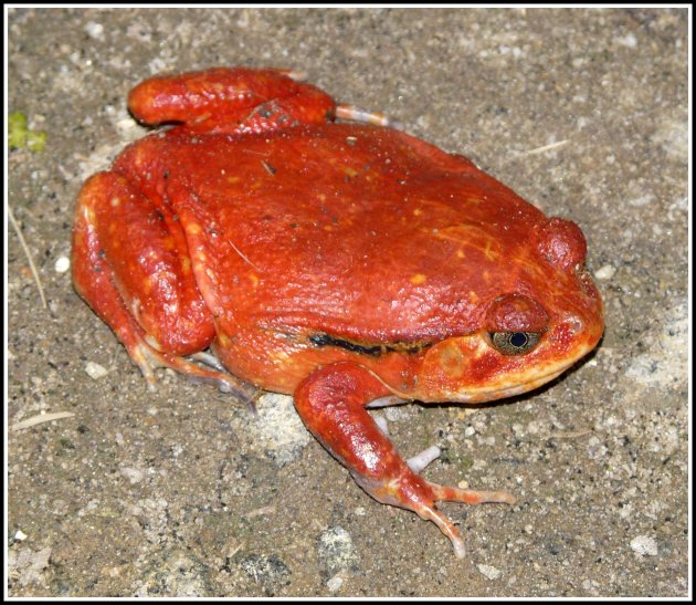 Rode kikker of pad?