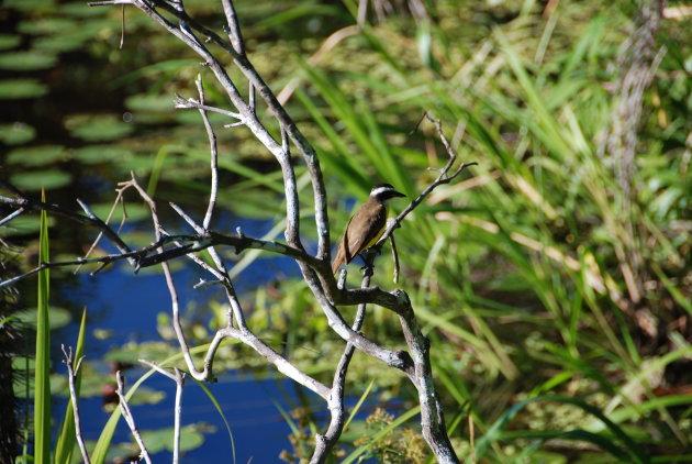 Vogel in de Amazone