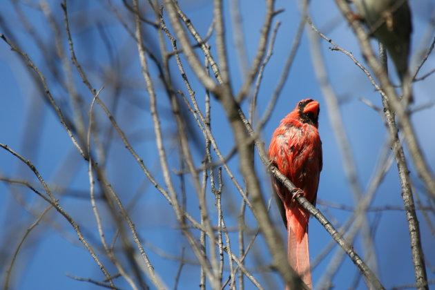 Kardinaalsvogel
