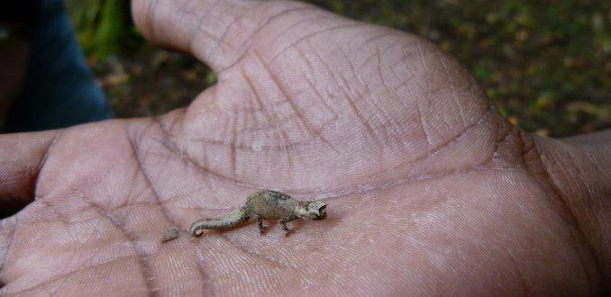 Kleinste reptiel van de wereld