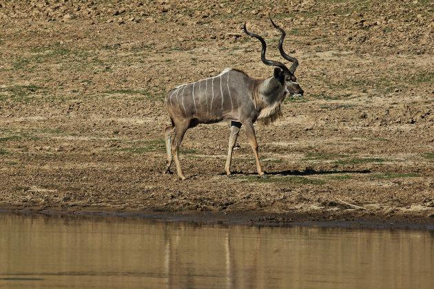 Grote Kudu
