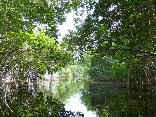 Mangrove's Black River