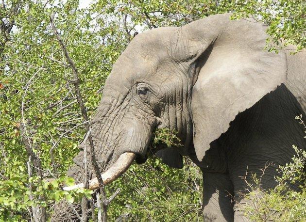 Wat ruist er door het struikgewas..Oog in oog met een olifant in Addo