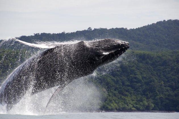 Breaching Whale!