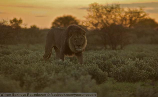 You run you die: low angle Leeuw in de Kalahari