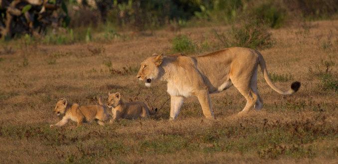 Leeuwin met twee kittens