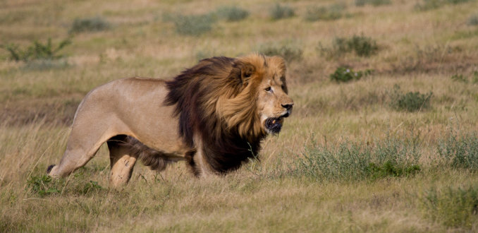Leeuw met haast