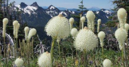 Wilde bloemen in Mount Rainier National Park