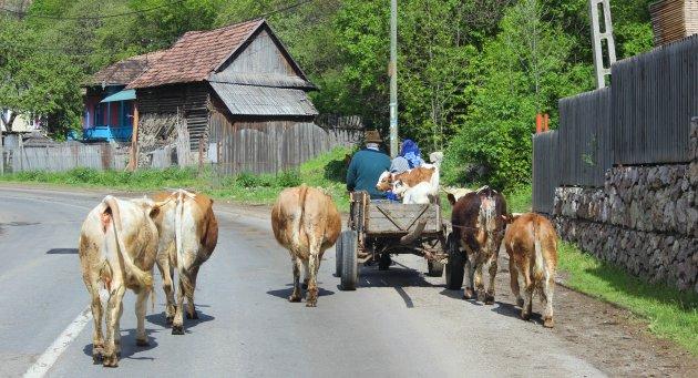 Van achter kijk je een koe in zijn kont