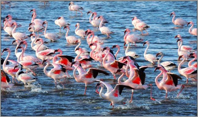 Flamingo's in Walvisbaai.