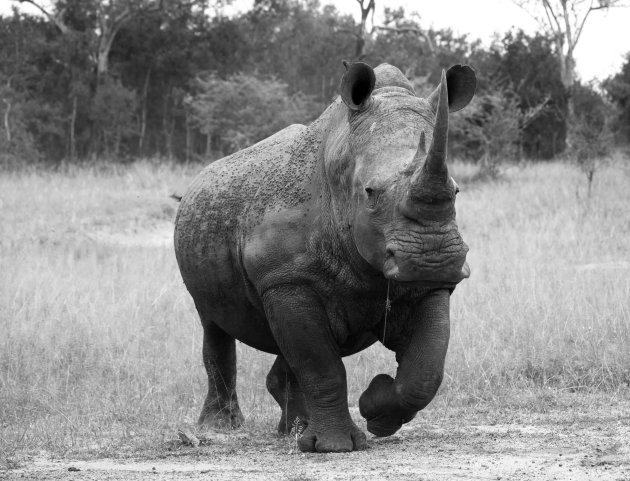 Witte Rhino in Swaziland