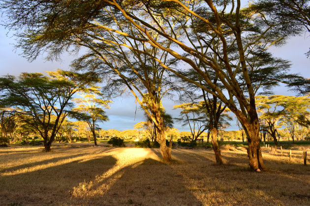 yellow fever trees in Kenia