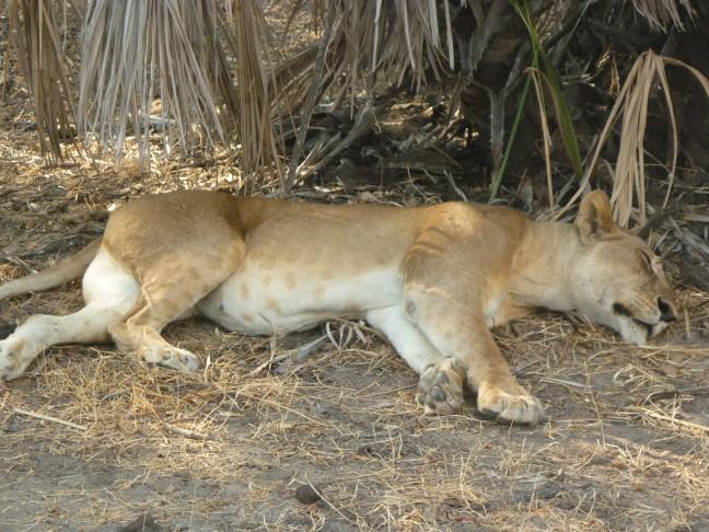 Groep leeuwen Selous
