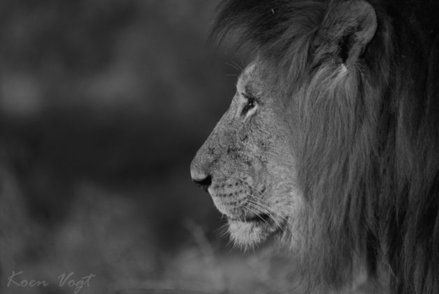 Mannetjes Leeuw, Zwart wit