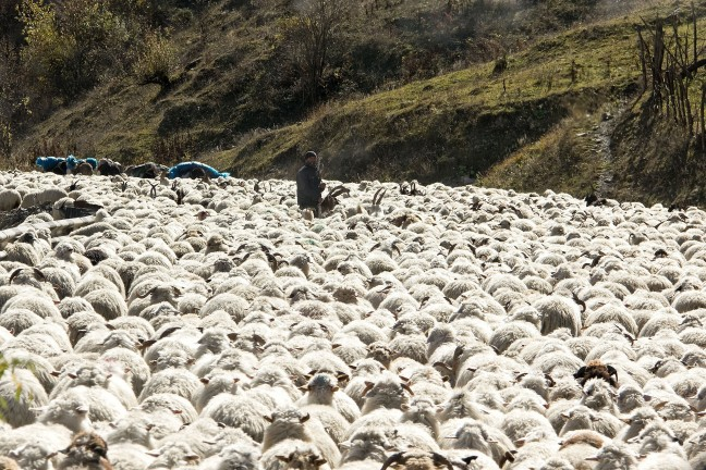 Eenling tussen de schapen